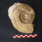 Tropidoceras masseanum